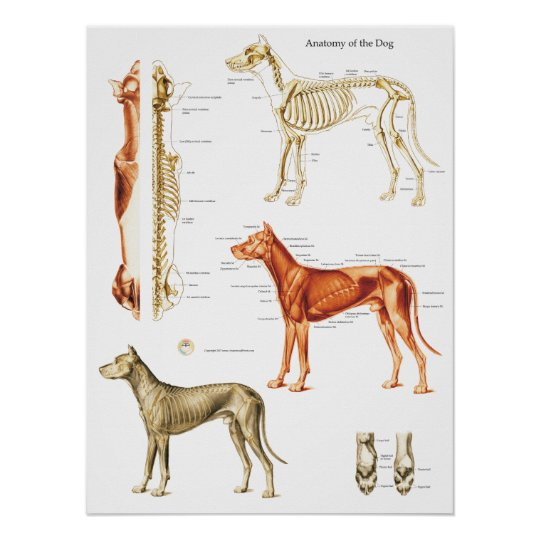 Dog Anatomy Poster Muscles and Bones 18 X 24