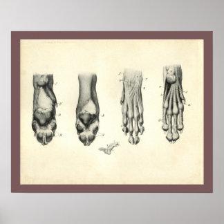 Dog Foot Paw Veterinary Anatomy Print