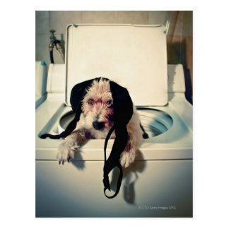 Dog helping out with the wash postcard