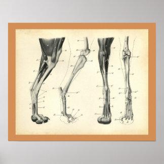 Dog Leg Bones Muscle Veterinary Anatomy Print