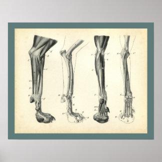Dog Leg Bones Muscles Veterinary Anatomy Print