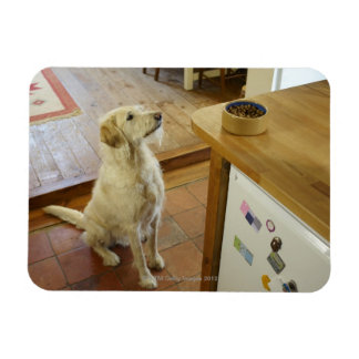 Dog looking at food on table. rectangular photo magnet