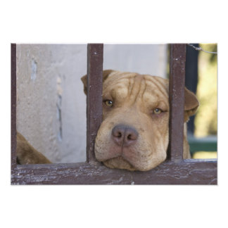 Dog looking through a gate, Valparaiso, Photographic Print