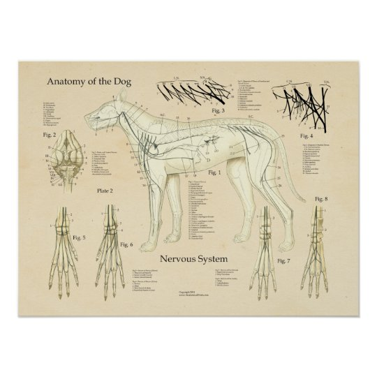 Dog Nervous System Nerve Anatomy Chart