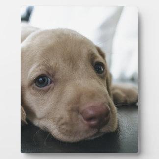 Dog Puppy Blue Eyes Blue Eye Pet Look Cute Plaque