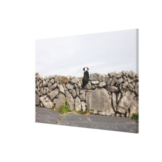Dog sitting on a traditional Irish stone wall on Canvas Prints