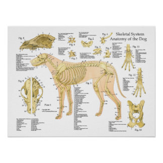 "Dog Skeletal Anatomy Poster 18"" X 24"""