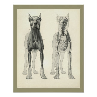 Dog Skull Legs Skeleton Muscle Anatomy Print