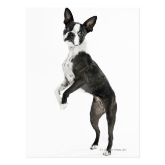dog standing on 2 legs looking at camera postcard