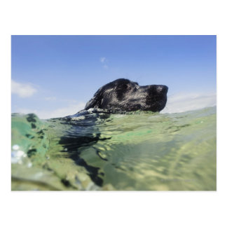 Dog swimming in water postcard