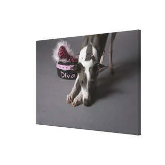 Dog with diva bowl, sniffing floor stretched canvas print