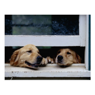Dogs Looking Out a Window Postcard