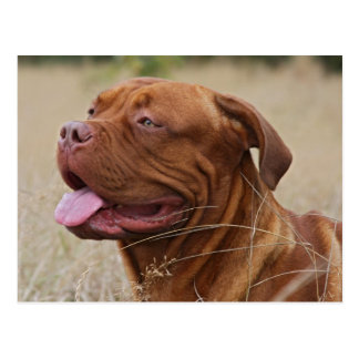 Dogue de Bordeaux Postcard