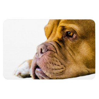 Dogue de Bordeaux Rectangular Photo Magnet
