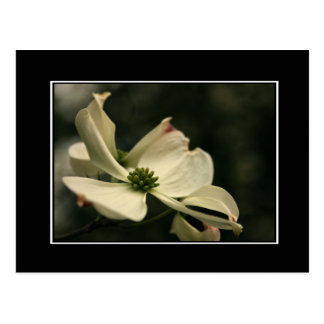 Dogwood Flower Postcard! (with border) Postcard
