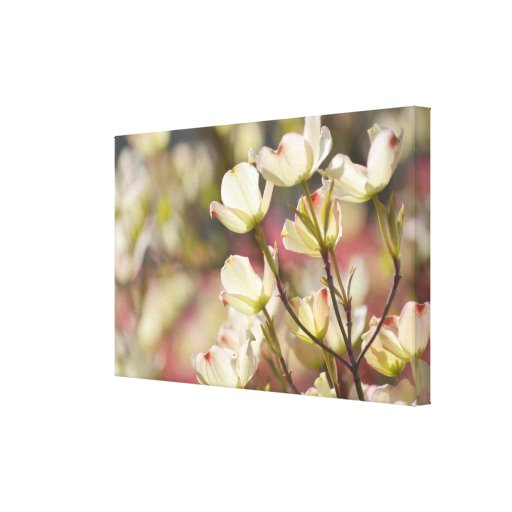 Dogwood Flowers Stretched Canvas Print
