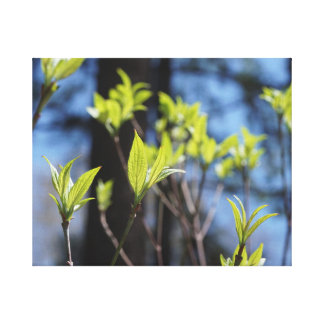 Dogwood Leaves in Spring Canvas Print