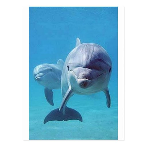 dolphin II Post Card