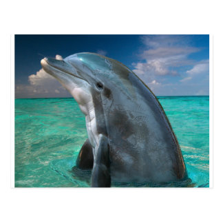 Dolphin in the Bahamas Postcard