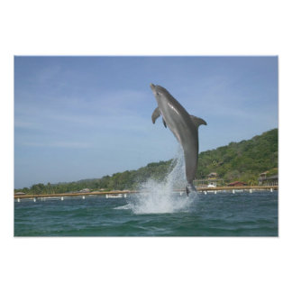 Dolphin jumping, Roatan, Bay Islands, Honduras Photographic Print