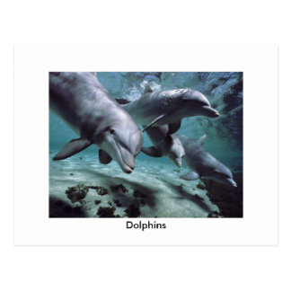 Dolphins - Postcard