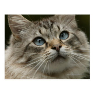Domestic cat postcard