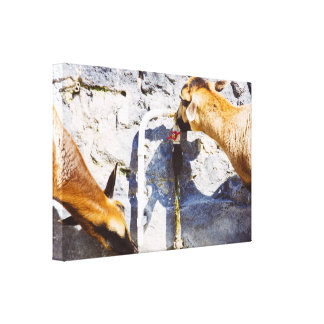 Domestic Goats Drinking Water, Farm Photograph Stretched Canvas Prints