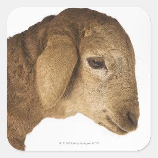 Domestic lamb square sticker