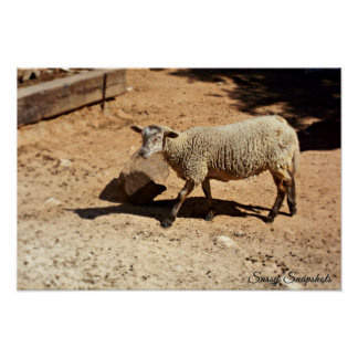 Domestic Sheep 19x13 Print