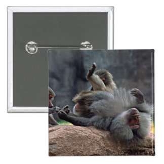 Dominant male Hamadryas baboon being groomed, 15 Cm Square Badge