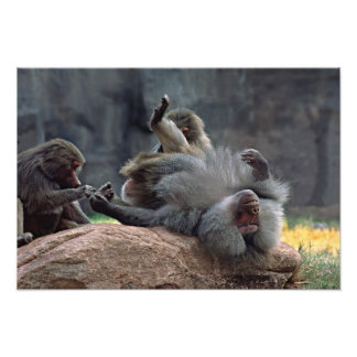 Dominant male Hamadryas baboon being groomed, Photo Print