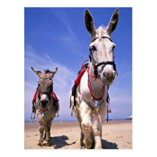 Donkeys, Blackpool Beach, England Postcard