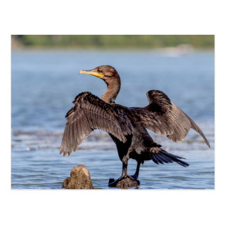 Double-crested Cormorant on Lake Champlain Postcard