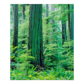 Douglas Fir tree Poster