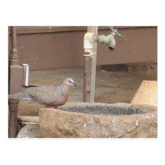 Dove at a fountain postcard