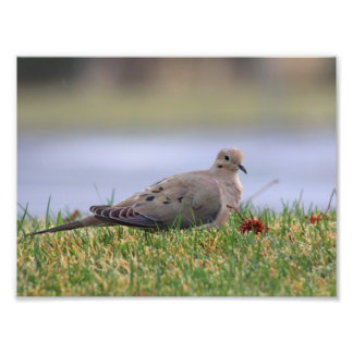 Dove Bird Photo Print