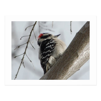 Downey Woodpecker Postcard