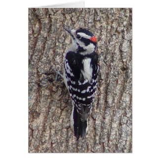 Downy Woodpecker Bird Card