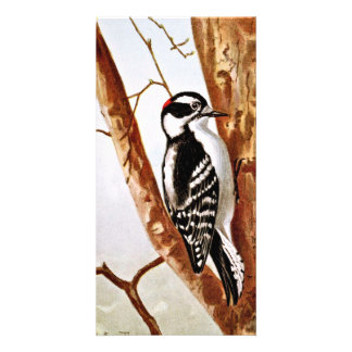 Downy Woodpecker Drawing Picture Card