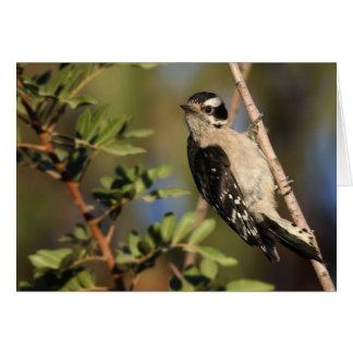Downy Woodpecker - Joe Sweeney - card