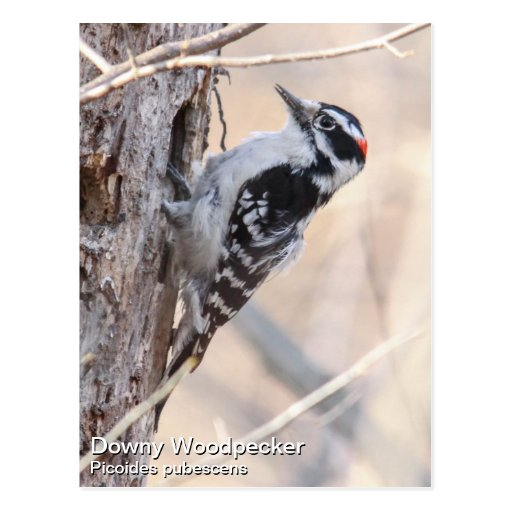 Downy Woodpecker Post Cards