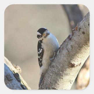 Downy woodpecker square sticker