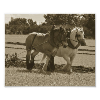 Draft horse team in harness photo print