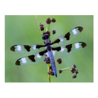 Dragon fly perched on grass, Canada Postcard