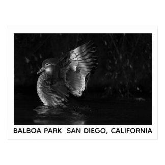 Dramatic Mandarin Duck Black and White Photo Postcard