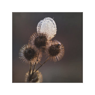 Dried Russian Grape Vine Seed Pod and Burrs Canvas Print