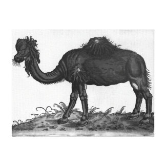Dromedary, from 'Historial Animalium' Stretched Canvas Print