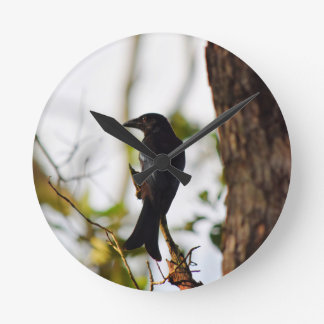 DRONGO BIRD RURAL QUEENSLAND AUSTRALIA ROUND CLOCK
