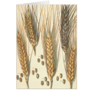 Drought Resistant Wheat Plant, Vintage Agriculture Card
