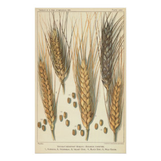 Drought Resistant Wheat Plant, Vintage Agriculture Poster
